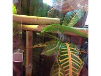 Female phelsuma grandis