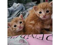 Ginger Bengals
