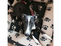 Blue and White Whippet Puppy 7 Months Sale Female Girl KC Registered Vaccinated Microchiped