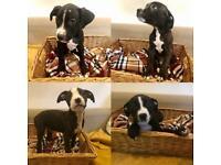 Staffordshire terriers x bullmastiff Staffy Puppies for sale