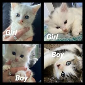 4 x gorgeous long haired white / tabby kittens ready now