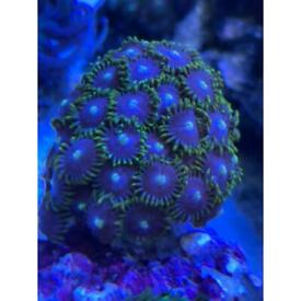 Coral zoa frag