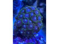 Coral zoa marine frag