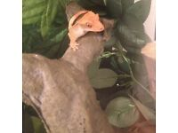 Young crested gecko with set up and fruit pots