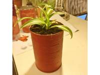 Baby spider plant for sale