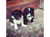 ***SOLD*** Jack Russell x Collie pups