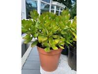 Money Plants, large, 20cm pots
