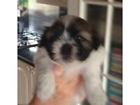 Shih szu pups for sale