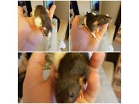 Young female rats for sale