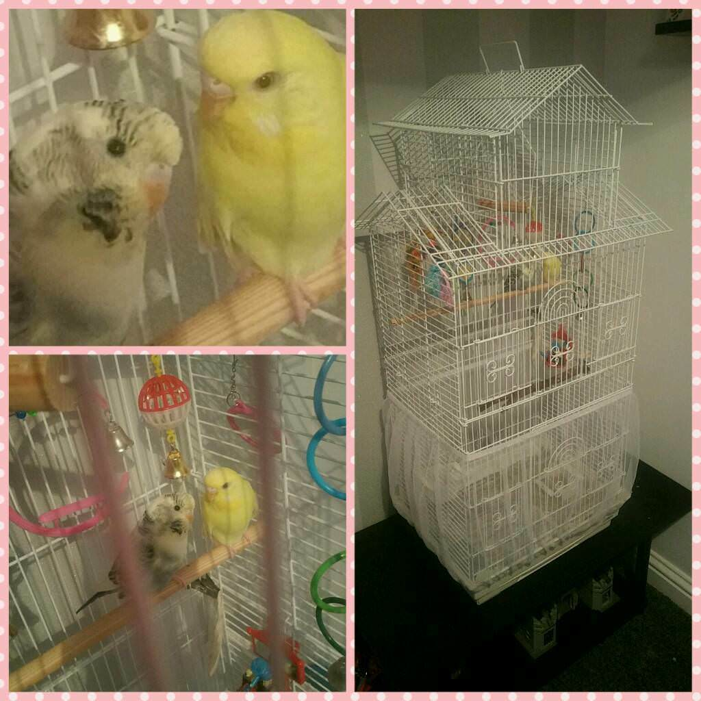 Budgies x | in Hetton-le-Hole, Tyne and Wear | Gumtree