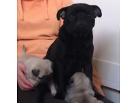 2 light fawn male pug puppies for sale