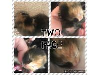 Beautiful Unique tortoise shell kitten with unusual / rare marking!