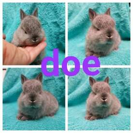 Netherland dwarf babies for RESERVE ONLY