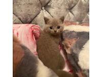 Lilac British Shorthair Kitten