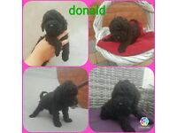 2 left toy poodles kennel registered ready to go
