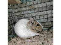 Female white patched aguti degu 4months old and cage