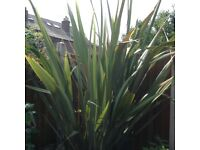 Large yucca, plant very healthy outgrown garden cost me £80 to buy 2 years ago