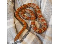 choice of 2 young corn snakes and a set up