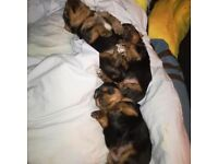 Yorkshire terriers puppies, 3boys, fully injected, microchipped, insured for one month