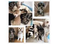 Cockapoo Puppies, Tri Coloured Merle, Blue Merle, Apricot, Partis EXTENSIVE HEALTH TESTING