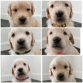 Beautiful litter of Golden Retrievers available 9th November