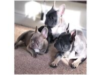 French bulldog puppies for sale ready to go 1st needle microchipped and wormed.