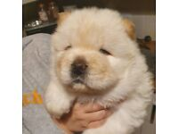 Kc reg Chow chow puppies
