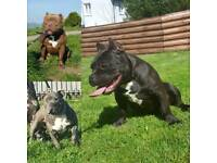 American bully female pup