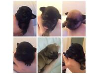 Tiny chihuahua puppies