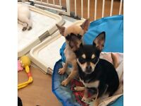 forever homes required for 3 beautiful chihuahuas