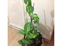 Money Plant/Epipremnum aureum/Lucky Plant/Golden pothos/ivy arum/ivy and taro vine/Philodendron.