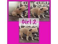 Chihuahua puppies 1girl & 2boys