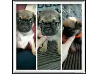 Only 3 pug girls left please only call or email.