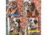 Chunky Bulldogs