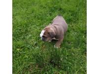 British bulldog pup tri
