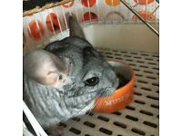 4 years young Chinchilla male found new home. Come with cage, accesories,food and bath dust.