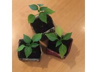 Lovely Red Chilli / Chili Seedlings / Plants - Healthy & Ready for Planting