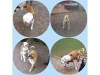 £600 1 puppy left. American bulldog cross American bullmastiff