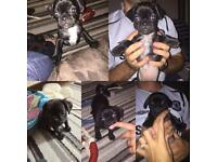 3/4 Pug puppies PUG x (JUG) ONLY ONE GIRL LEFT