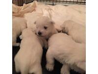 westie puppys for sale