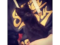 Gorgeous black kitten free to good home