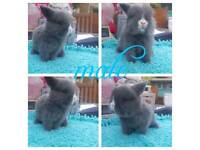 Mini lop buck available to reserve