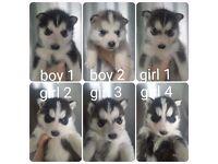 Beautiful Siberian Huskies for sale