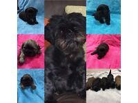 Amazing..Full pedigree shihtzu pups
