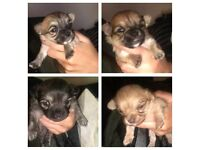 Chihuahua puppies forsale
