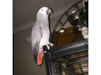 missing african gray parrot