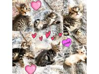 Beautiful kittens 8 weeks old ready now