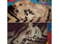 Jack Russel X Lhasa Apso Puppies