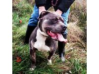 American Bully XL 22 months old