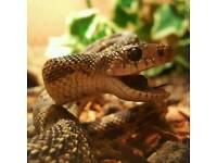 Angry Pine Snake